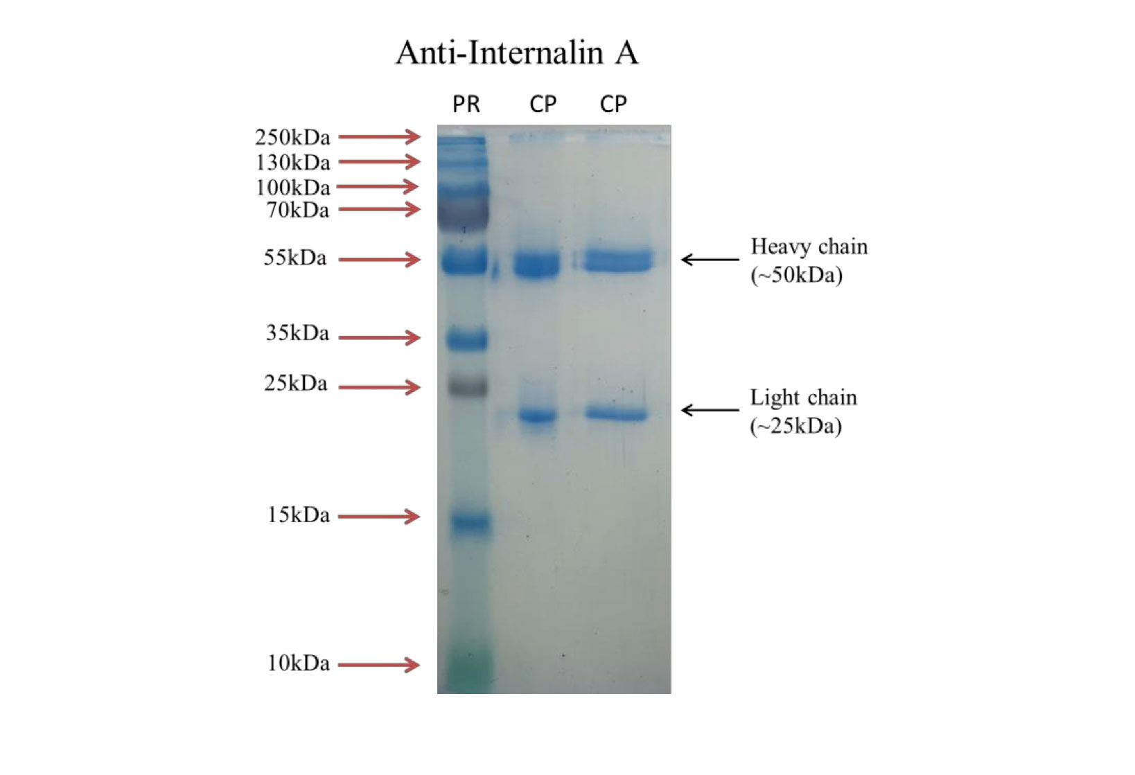 Internalin Part - 19: Fig. 1 SDS-PAGE analysis of anti-InlA mAb, 2B3.