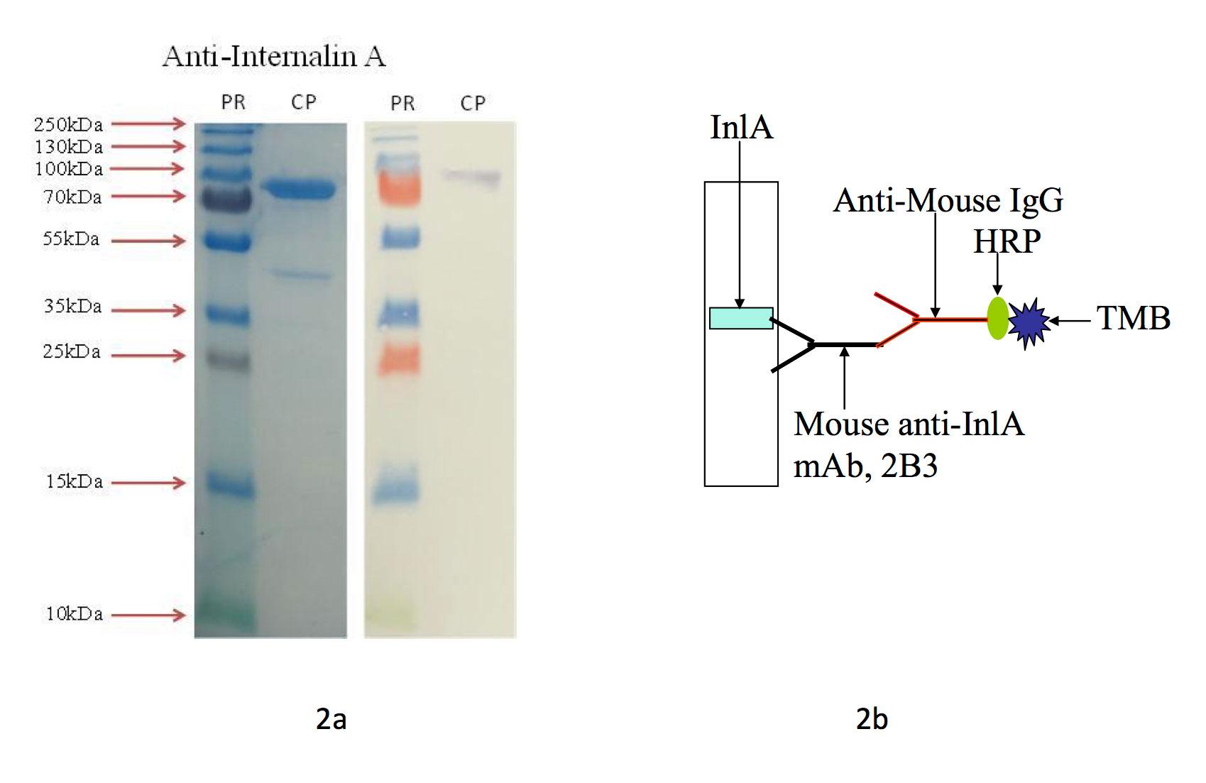 Anti Internalin A Inla Mab 2b3 Abybiotech
