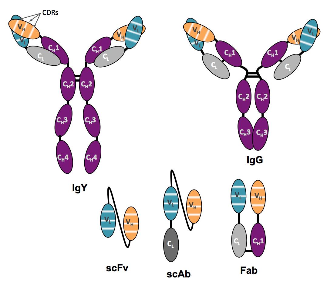 Antibody Diagram